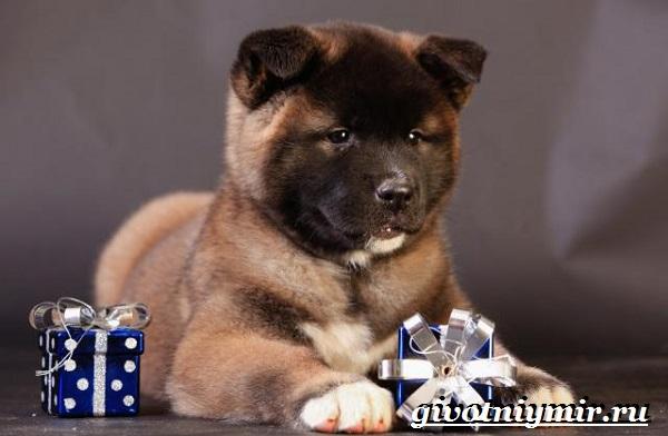 Американская-акита-собака-Описание-особенности-уход-и-цена-американской-акиты-10
