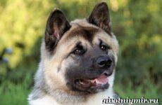 Американская акита собака. Описание, особенности, уход и цена американской акиты