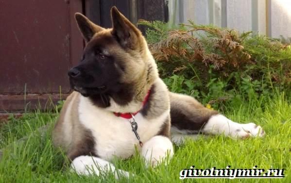 Американская-акита-собака-Описание-особенности-уход-и-цена-американской-акиты-4