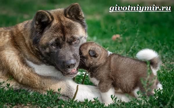 Американская-акита-собака-Описание-особенности-уход-и-цена-американской-акиты-8