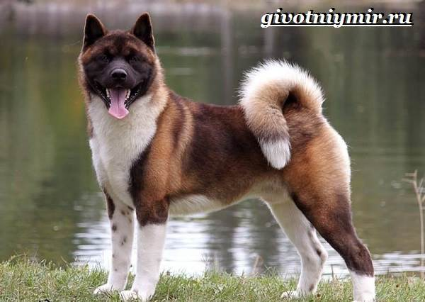 Американская-акита-собака-Описание-особенности-уход-и-цена-американской-акиты-9