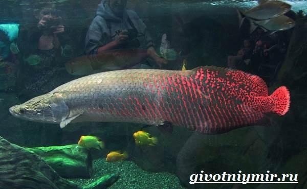 Арапайма-рыба-Образ-жизни-и-среда-обитания-рыбы-арапаймы-4