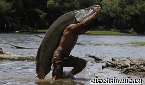 Арапайма-рыба-Образ-жизни-и-среда-обитания-рыбы-арапаймы-6