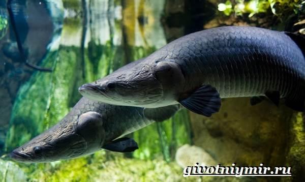 Арапайма-рыба-Образ-жизни-и-среда-обитания-рыбы-арапаймы-7