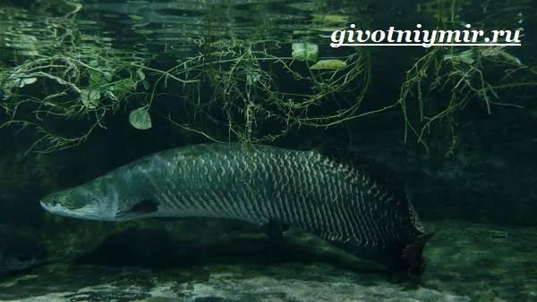 Арапайма-рыба-Образ-жизни-и-среда-обитания-рыбы-арапаймы-8