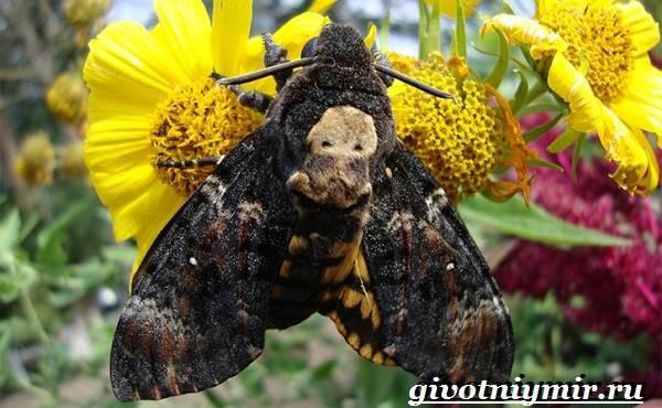 Бабочка-мертвая-голова-Образ-жизни-и-среда-обитания-бабочки-мертвая-голова-1