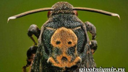 Бабочка мертвая голова. Образ жизни и среда обитания бабочки мертвая голова