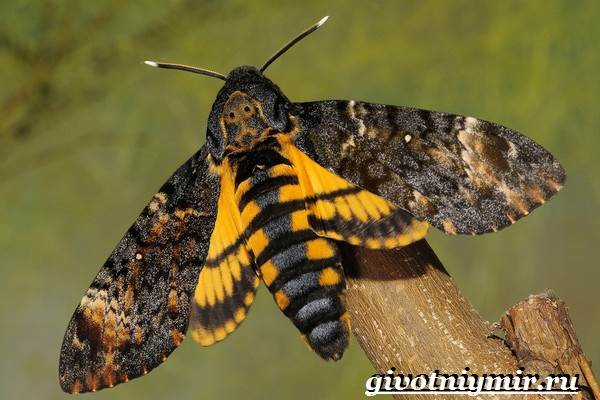 Бабочка-мертвая-голова-Образ-жизни-и-среда-обитания-бабочки-мертвая-голова-4