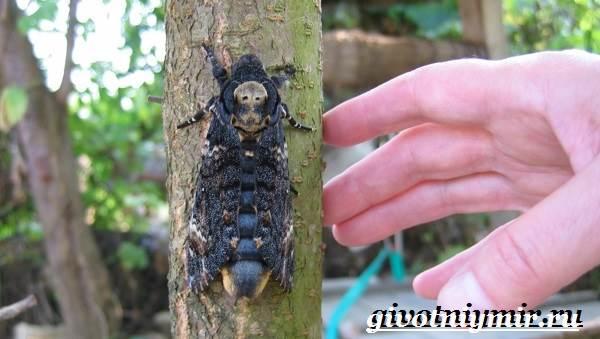 Бабочка-мертвая-голова-Образ-жизни-и-среда-обитания-бабочки-мертвая-голова-5