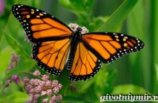 Бабочка Монарх. Образ жизни и среда обитания бабочки монарх