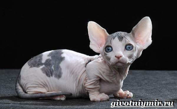 Бамбино кошка. Описание, особенности, уход и цена кошки бамбино