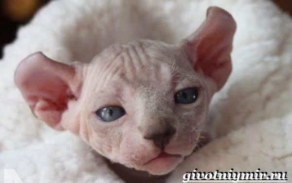 Бамбино-кошка-Описание-особенности-уход-и-цена-кошки-бамбино-3