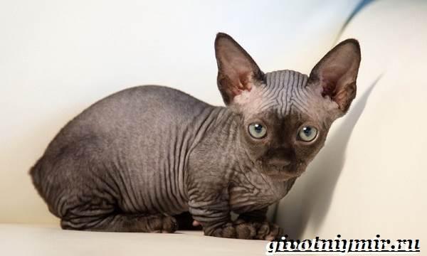 Бамбино-кошка-Описание-особенности-уход-и-цена-кошки-бамбино-6