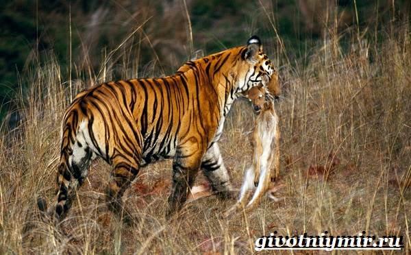 Бенгальский-тигр-Образ-жизни-и-среда-обитания-бенгальского-тигра-12