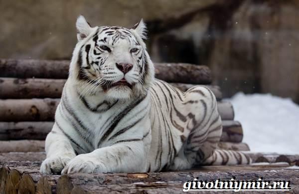 Бенгальский-тигр-Образ-жизни-и-среда-обитания-бенгальского-тигра-2