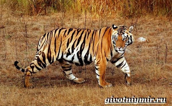 Бенгальский-тигр-Образ-жизни-и-среда-обитания-бенгальского-тигра-3