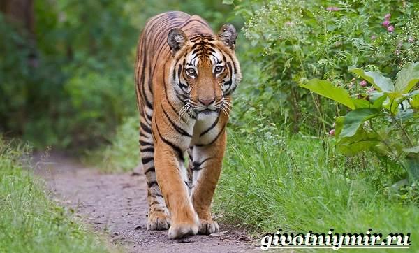 Бенгальский-тигр-Образ-жизни-и-среда-обитания-бенгальского-тигра-4