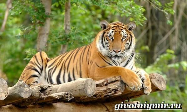 Бенгальский-тигр-Образ-жизни-и-среда-обитания-бенгальского-тигра-5