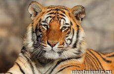Бенгальский тигр. Образ жизни и среда обитания бенгальского тигра