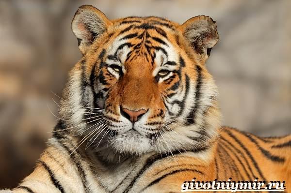 Бенгальский-тигр-Образ-жизни-и-среда-обитания-бенгальского-тигра-6
