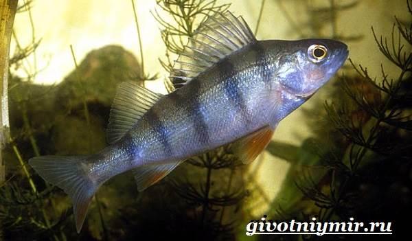 Берш-рыба-Образ-жизни-и-среда-обитания-рыбы-берш-1
