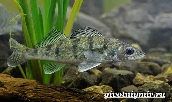 Берш-рыба-Образ-жизни-и-среда-обитания-рыбы-берш-2