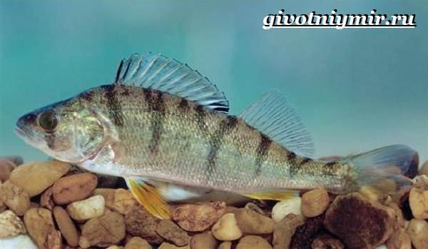 Берш-рыба-Образ-жизни-и-среда-обитания-рыбы-берш-3