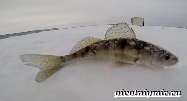 Берш-рыба-Образ-жизни-и-среда-обитания-рыбы-берш-4