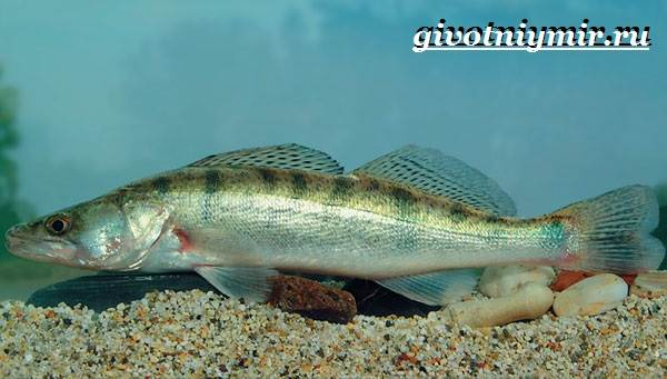 Берш-рыба-Образ-жизни-и-среда-обитания-рыбы-берш-5