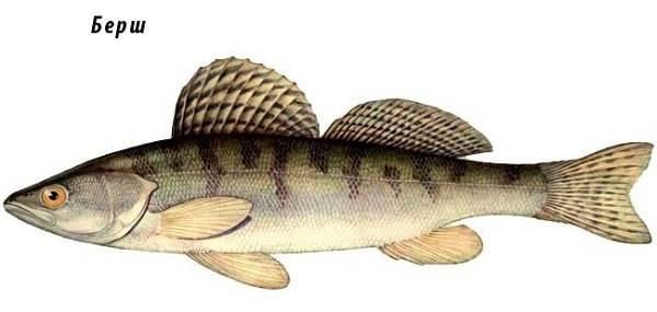 Берш-рыба-Образ-жизни-и-среда-обитания-рыбы-берш-6