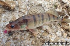Берш рыба. Образ жизни и среда обитания рыбы берш