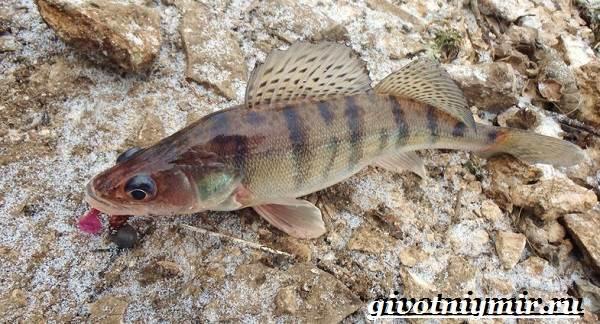 Берш-рыба-Образ-жизни-и-среда-обитания-рыбы-берш-8