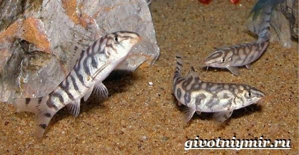 Боция-рыба-Описание-особенности-уход-и-цена-рыбки-боция-10