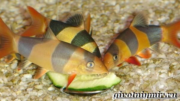 Боция-рыба-Описание-особенности-уход-и-цена-рыбки-боция-13