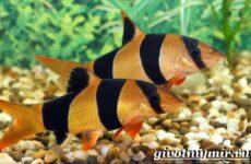Боция рыба. Описание, особенности, уход и цена рыбки боция
