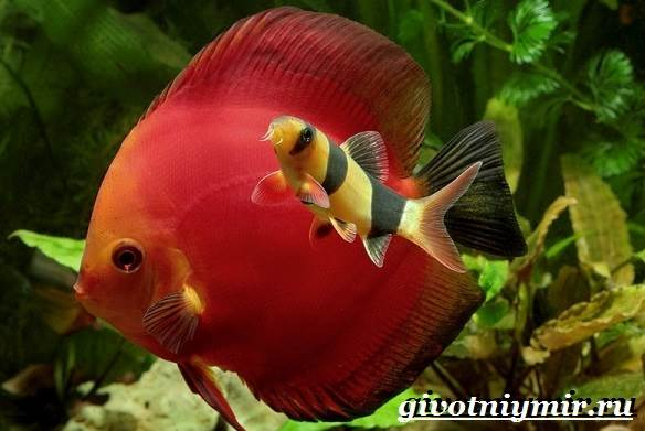 Боция-рыба-Описание-особенности-уход-и-цена-рыбки-боция-5