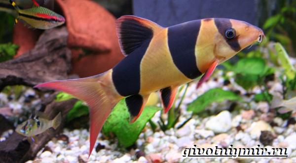 Боция-рыба-Описание-особенности-уход-и-цена-рыбки-боция-6
