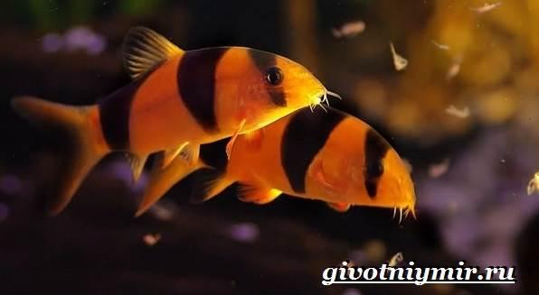 Боция-рыба-Описание-особенности-уход-и-цена-рыбки-боция-8