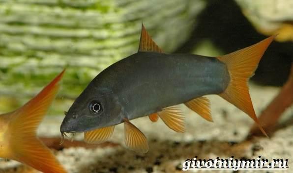 Боция-рыба-Описание-особенности-уход-и-цена-рыбки-боция-9