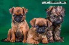 Брабансон собака. Описание, особенности, уход и цена породы брабансон
