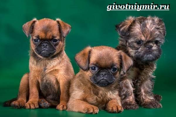 Брабансон-собака-Описание-особенности-уход-и-цена-породы-брабансон-10