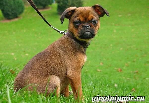 Брабансон-собака-Описание-особенности-уход-и-цена-породы-брабансон-2