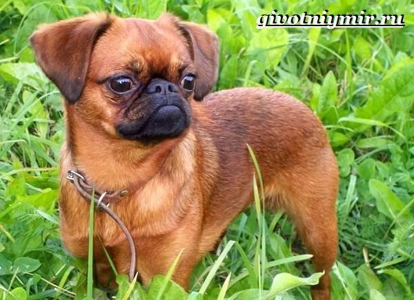 Брабансон-собака-Описание-особенности-уход-и-цена-породы-брабансон-3