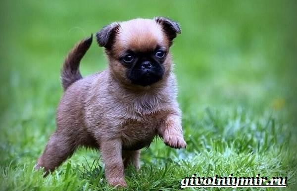 Брабансон-собака-Описание-особенности-уход-и-цена-породы-брабансон-4