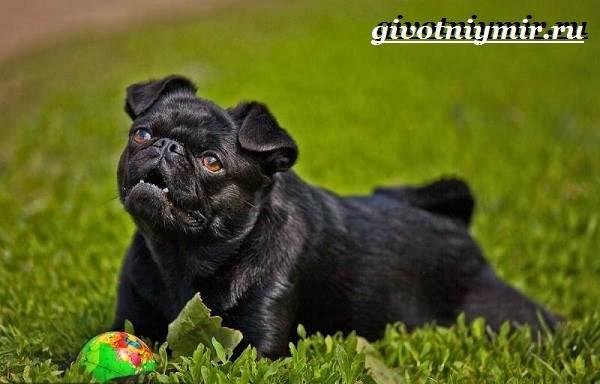 Брабансон-собака-Описание-особенности-уход-и-цена-породы-брабансон-5