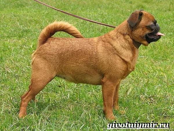 Брабансон-собака-Описание-особенности-уход-и-цена-породы-брабансон-6