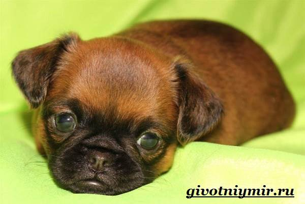 Брабансон-собака-Описание-особенности-уход-и-цена-породы-брабансон-8