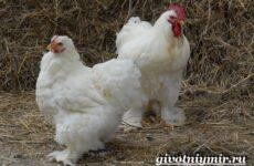 Брама порода кур. Описание, особенности, уход и цена кур брама