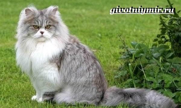 Британская-кошка-Описание-особенности-уход-и-цена-британской-кошки-10