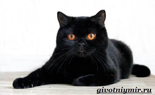 Британская-кошка-Описание-особенности-уход-и-цена-британской-кошки-11